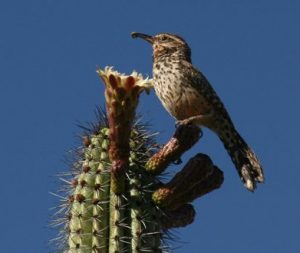 Arizona Birds - Cactus Wren